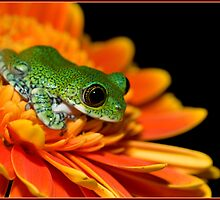 Peacock frog by AngiNelson