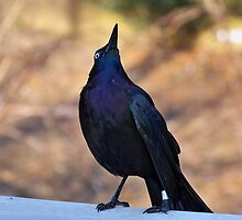 Common Grackle - What Up There? by Dandelion Dilluvio