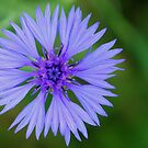 Corn Flower by worldtripper