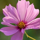 Delicate Petals by Alana Ranney