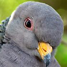 "Band-tailed ""Cutie Pie"" Pigeon by Kimberly P-Chadwick"