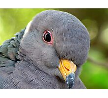 """Band-tailed """"Cutie Pie"""" Pigeon Photographic Print"""