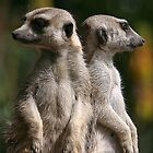 Meerkats  - Mirror Image Pose by Cecily McCarthy