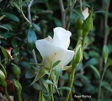 rose bud by Penny Brooks