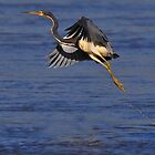 Heron taking flight by AmyCK