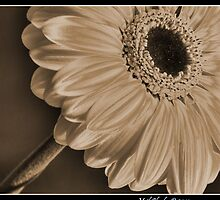 White Gerbera by Neil Clarke