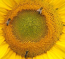 Sunflower (4692) by ScenerybyDesign
