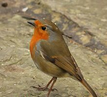 A Little Robin Friend : Gt.Britain & Europe by AnnDixon