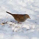 Dunnock 3 by David Freeman