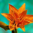 Amaryllis Hippeustrum (Happy Memory) by Kelvin Hughes