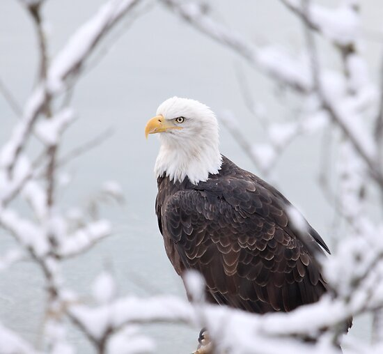 Proud Eagle by Gina Ruttle  (Whalegeek)