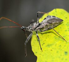 Assassin Bug by George Kashouh