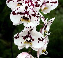 Orchids by Jenn Shiels