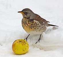 Hungry Fieldfare by Roantrum