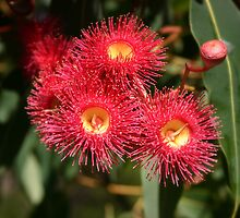 Summer Red eucalypt flowers by Laura Sykes