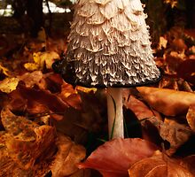 Shaggy Ink Cap by Alan E Taylor