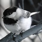 Black-captured Chickadee by Lee-Anne Carver
