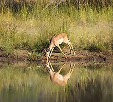 Perfect reflection:Impala at waterhole by JohanVerster