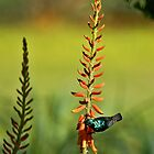 Sunbird on Aloe by David Clark