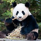 Giant Panda - Funi by Cathy Cormack