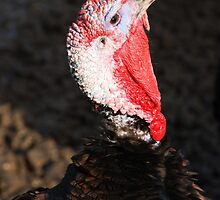 Tom turkey close up just before Thanksgiving by Michael Brewer