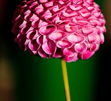 Pink Dahlia by Eric Waring
