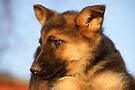 GSD Puppy by Sandy Keeton