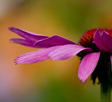 Echinacea - my garden, Ottawa, Ontario by Tracey  Dryka