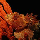 Scorpionfish on Sponge by Edjamen