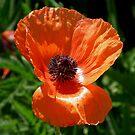 Poppy by Len Bomba