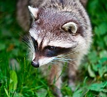 Raccoon by Dave  Knowles