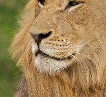 Lion by Andrew Doggett