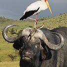 CAPE BUFFALO - KENYA by Michael Sheridan
