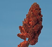 Staghorn Sumac by Mike Oxley