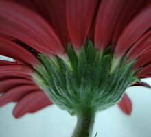 Edge of the Petal, Red Gerbera Daisy Flower, Lovely Card, Prints & Poster by Michele Ford