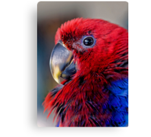 Ruffled Up - eclectus parrot Canvas Print
