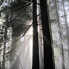 Redwood Forest by alexisjmichel