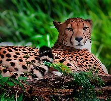 Resting Cheetah - Outdoor Wildlife Photography Art  by factor