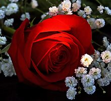 Rose of Love by cherylc1