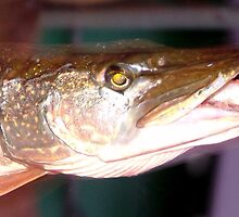 Chain Pickerel by Valeria Lee
