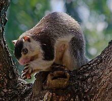 Rock Squirrel, Habarana, Sri Lanka by Rajeev Costa