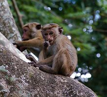 Monkeys, Habarana, Sri Lanka by Rajeev Costa