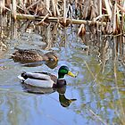 Pair of Mallard Ducks by Rod Johnson