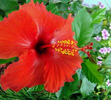 My Front Yard Hibiscus by Wanda Raines