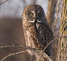 Great Grey Owl, Ottawa, Ontario by Tracey  Dryka