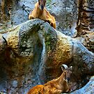Alpine Ibex by Manfred Belau
