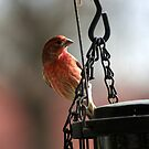 Beautiful Purple Finch by Ruth Lambert
