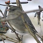 Junco by RLHall