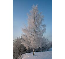 Birch in Winter  Photographic Print