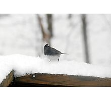 Junco Photographic Print